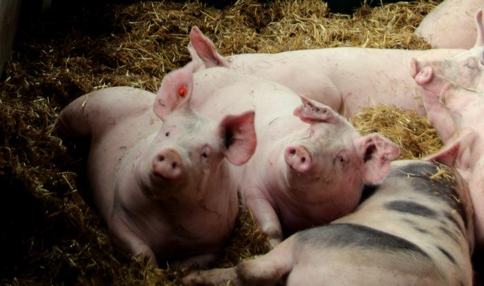 Schweine vom hiesigen Bauern